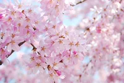 Everything Changes - Springtime Cherry Blossoms
